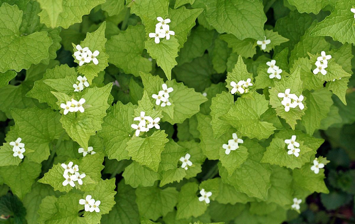 nyis_garlic_mustard_flowers1