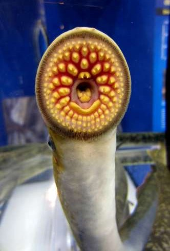 Sea Lamprey Mating Pheromone Registered by U.S. Environmental Protection Agency as First Vertebrate Pheromone Biopesticide