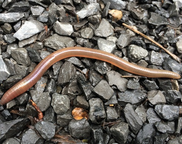 Earthworms could be a threat to biodiversity