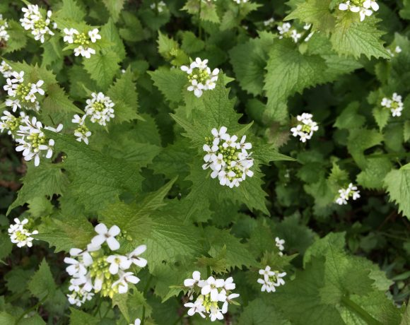 Garlic Mustard Populations Likely to Decline