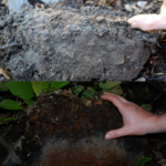 Figure 2. Above: Earthworm-invaded soil profile lacking stratification. Below: Intact duff layer over stratified soil profile without earthworms.