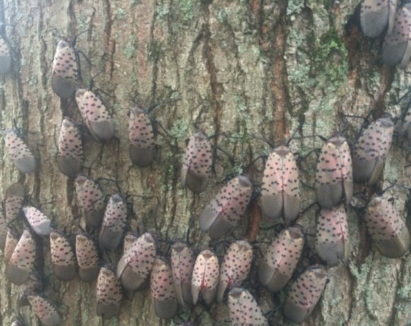 Spotted Lanternfly Detected in New York
