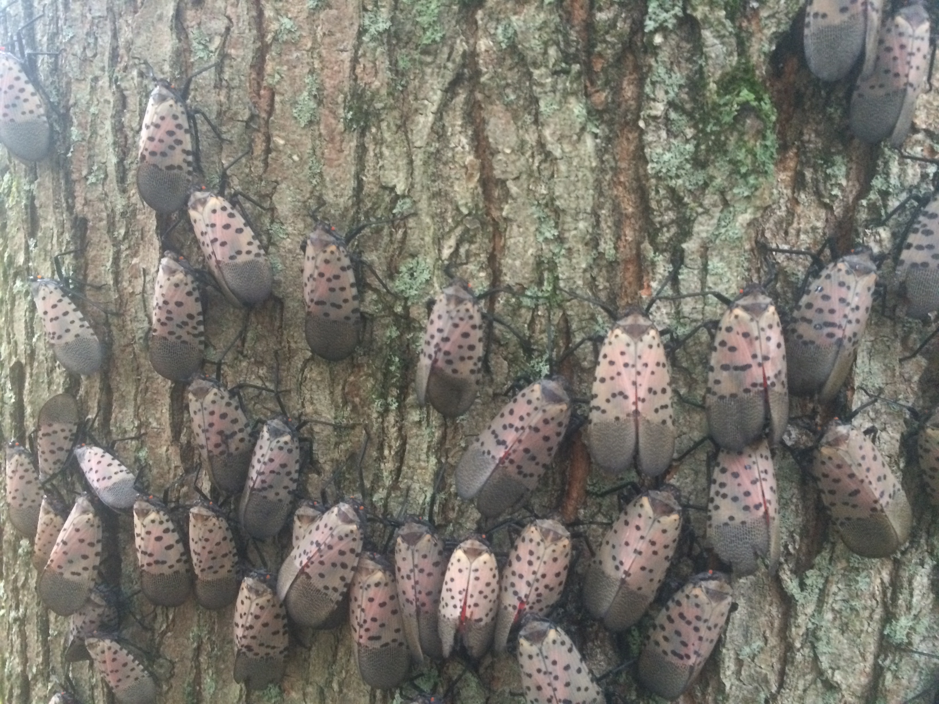 Spotted-lanternfly-9