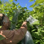 Knotweed Biocontrol Released in NYS