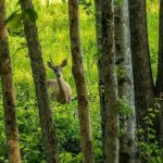 Research Summary: Fewer Deer and Newer Trees
