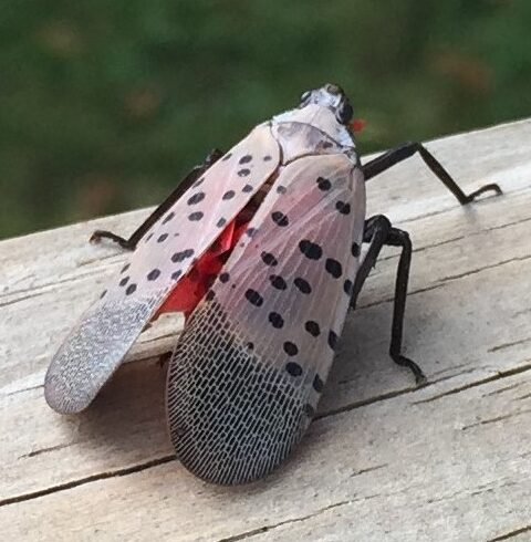 Spotted Lanternfly Found in NY