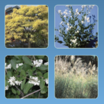 New York State Prohibited and Regulated Invasive Plants