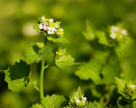 Garlic Mustard's Time of Decline | Research Summary