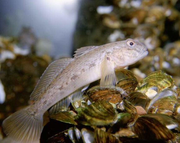 eDNA Advances: Counting up round gobies | Research summary